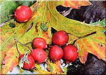 J3875 : Red berries, Belmont Park, Belfast (October 2014) by Albert Bridge
