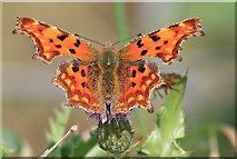 TA1281 : Comma on thistle by Pauline E