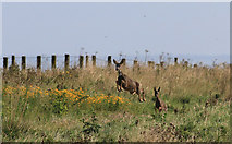 TA1281 : Roe deer on the run by Pauline E