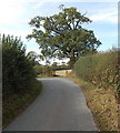 SJ5229 : Tree at a bend in Church Lane, Aston by Jaggery