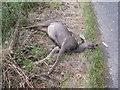 NT4558 : Dead Roe Deer by M J Richardson