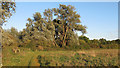 TQ4395 : Trees on the banks of the Roding, Roding Valley Meadows Nature Reserve by Roger Jones