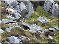 T0796 : Wild goats and Sika stag in Glenealo by Oliver Dixon