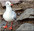 J4774 : Black-headed gull, Kiltonga, Newtownards - October 2014(1) by Albert Bridge