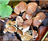 J4774 : Fungi, Kiltonga, Newtownards (October 2014) by Albert Bridge