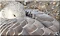 J4774 : Resting greylag goose, Kiltonga, Newtownards (October 2014) by Albert Bridge