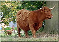 SK5910 : Highland cattle near Rectory Road in Wanlip by Mat Fascione