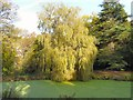 SJ9493 : Willow Tree at Pole Bank by Gerald England