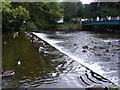 SK2168 : Weir Ducks by Gordon Griffiths