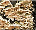 J3876 : Fungus, Knocknagoney, Belfast (October 2014) by Albert Bridge
