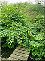 SE0126 : Japanese knotweed on Hebden Royd FP31 at Wadsworth Royd by Humphrey Bolton
