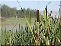 SO1053 : Bulrushes in the Morning by Bill Nicholls
