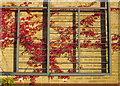 SX8966 : Virginia Creeper, The Willows by Derek Harper