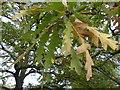 TF0627 : Quercus robur - Leaf by Bob Harvey