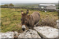 L8112 : Donkey by Ian Capper
