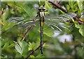 SO5214 : Teneral Club-tailed Dragonfly (Gomphus vulgatissimus) by Hugh Venables