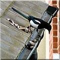SJ9594 : Magpie behaviour by Gerald England