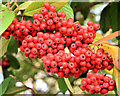 J3471 : Cotoneaster berries, Stranmillis, Belfast (November 2014) by Albert Bridge