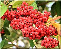 J3471 : Cotoneaster berries, Stranmillis, Belfast (November 2014) by Albert Bridge