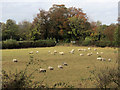 SP9013 : Sheep line up in a Medieval field at Wilstone by Chris Reynolds