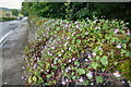 SK2365 : Ivy-leaved Toadflax and Herb Robert by Mick Garratt