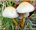 J3268 : Fungi, Minnowburn, Belfast - November 2014(8) by Albert Bridge