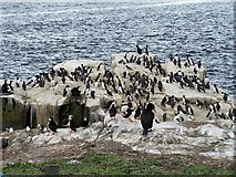NU2135 : Mixed group of seabirds, Farne Islands by David Chatterton