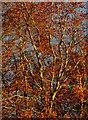 SU6774 : Autumnal beech foliage by Edmund Shaw