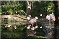 NT2072 : Flamingoes in Edinburgh Zoo by Graham Hogg