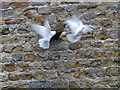 SD7152 : Fighting doves by Stephen Craven
