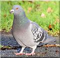 J3573 : Feral pigeon, Ormeau Park, Belfast - November 2014(2) by Albert Bridge