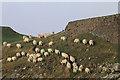NU1341 : Sheep on the move by Pauline E