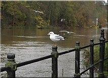 NZ2742 : Black Headed Gull at Durham by Robert Graham