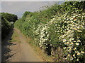 SX6154 : Ox-eye daisies near Fursdon by Derek Harper