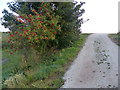 TF6025 : Rowan tree growing on the sea bank by Mat Fascione