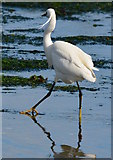 SX2553 : Little Egret paddling in Looe Harbour, Cornwall by Edmund Shaw