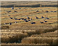 TF6429 : Geese in a field of crops by Mat Fascione