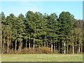 TF8519 : Sawmill Wood next to Weasenham Lyngs Norfolk by Richard Humphrey