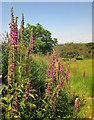 SX5384 : Foxgloves, Doe Tor Farm by Derek Harper