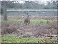TQ1569 : Stag in Bushy Park by Marathon