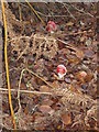 SK5114 : Toadstools at Beacon Hill Country Park by William Fairbrother