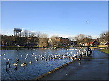 SE5613 : Feeding the birds at the Mere, Askern by Jonathan Thacker