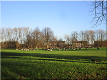 SE5613 : Flock of Canada Geese by Jonathan Thacker