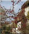 SX9068 : Ornamental cherry, Daccombe by Derek Harper