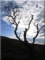 SD5494 : Dead tree on Benson Knott near Kendal by Colin Park