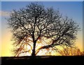 SO7640 : Tree on the ridge of the Malvern Hills by Bob Embleton