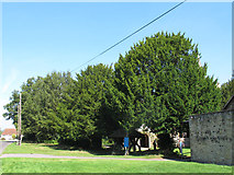 TQ4251 : St Andrew, Limpsfield Chart: yew trees by Stephen Craven