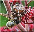 NT4936 : A garden spider with prey by Walter Baxter