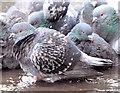 J3474 : Feral pigeons and puddle, Belfast (December 2014) by Albert Bridge