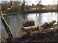 SP2965 : Poplar stumps and stems by the River Avon, Warwick 2014, December 19, 14:24 by Robin Stott